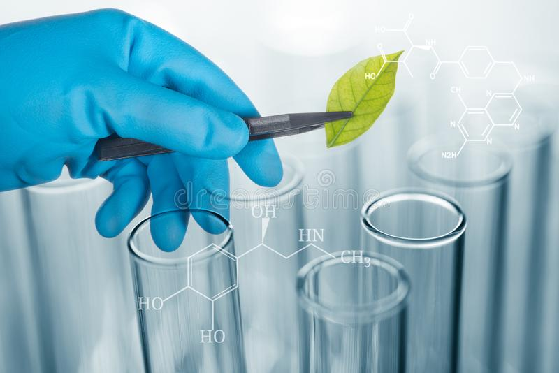 Scientist hand in blue glove holding green leaf , biotechnology royalty free stock photo