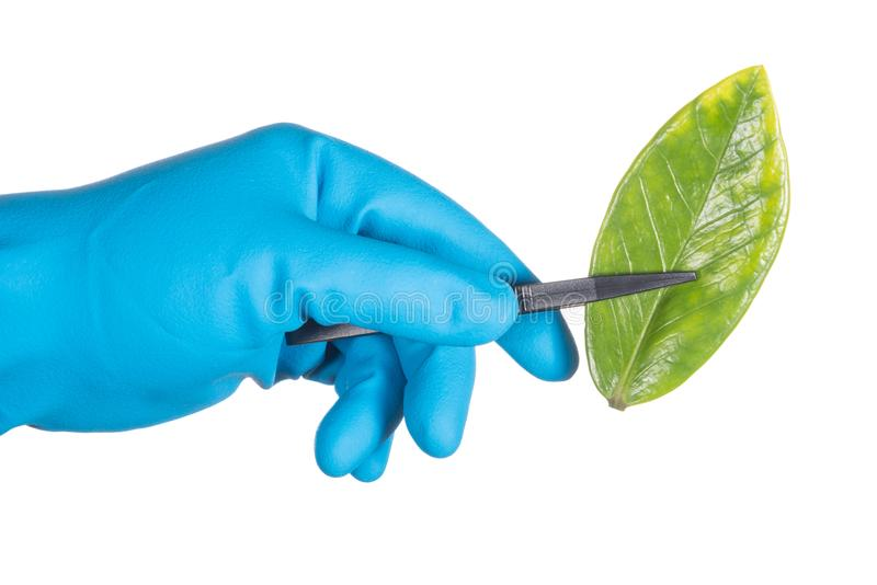 Scientist hand in blue glove holding green leaf , biotechnology stock images