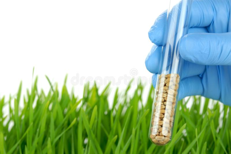 Scientist holding test tube with wheat seeds royalty free stock photography