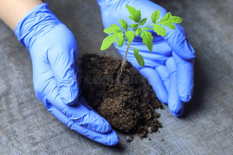 Scientist holds a sprout in his hands. this is a tomato. concept of using scientific advances in plant growing. Science genetics protection search problem stock image