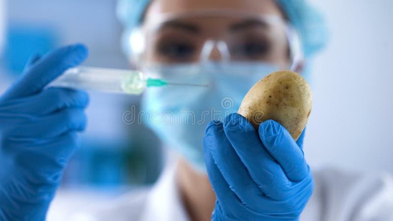 Scientist preparing to inject test liquid in potato, genetic breeding, gmo study stock photo