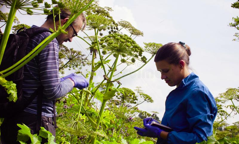 Scientists environmentalists man and woman examining plant. Man and women scientists environmentalists exploring plants. Man cutting sample of a cow-bream and royalty free stock image