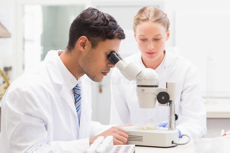 Scientists observing petri dish with microscope. In laboratory royalty free stock photos