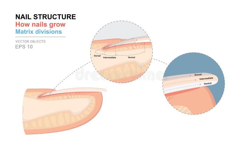 Scienza del corpo umano Manifesto anatomico di addestramento Anatomia dell'unghia Struttura del chiodo umano Come i chiodi si svi illustrazione vettoriale