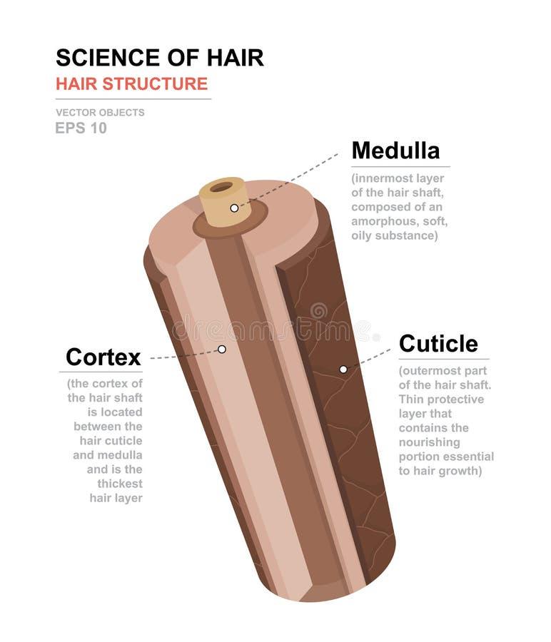 Scienza di capelli Manifesto anatomico di addestramento Struttura dei capelli Illustrazione medica di vettore royalty illustrazione gratis