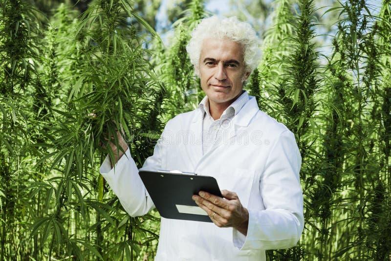 Scienziato che controlla le piante della canapa immagini stock