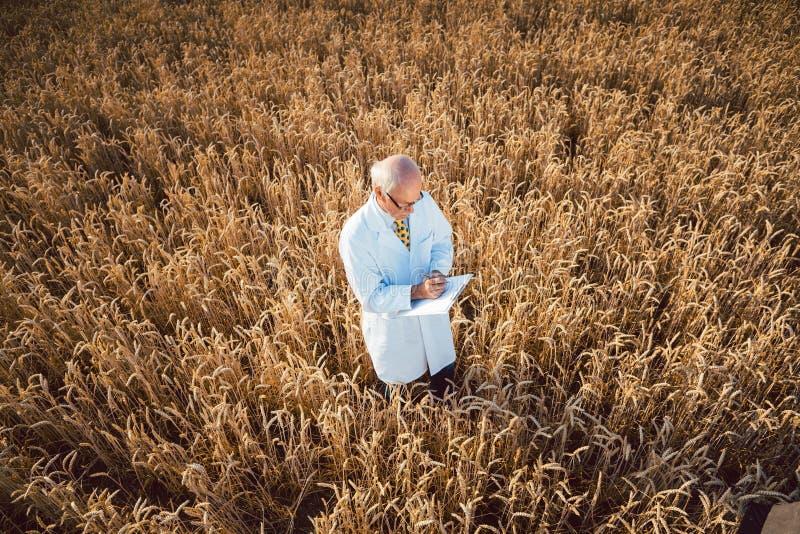 Scienziato che effettua prova in loco di nuovo grano OMG per migliore rendimento immagini stock
