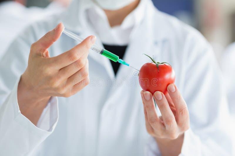 Scienziato che inietta un pomodoro immagine stock