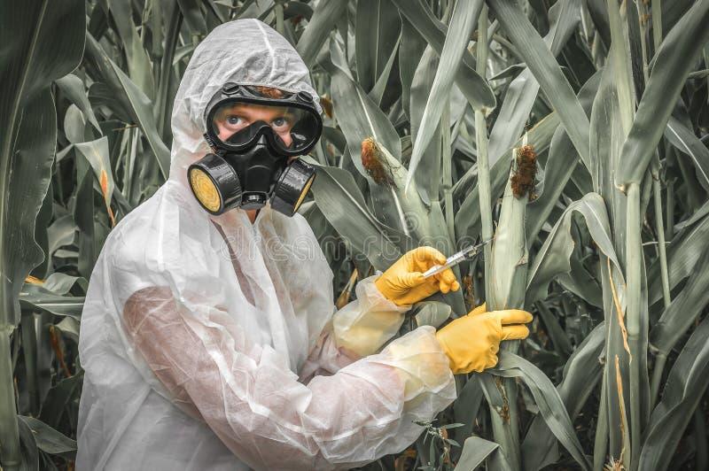Scienziato OMG in tute geneticamente che modificano il mais del cereale fotografie stock libere da diritti