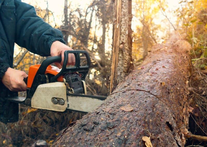 Scies d'homme une ouverture épaisse de tronçonneuse la forêt image stock