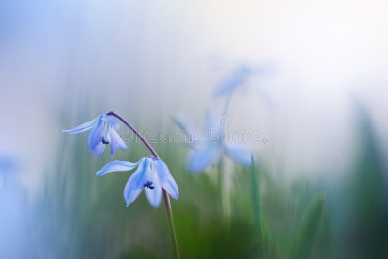 Scilla azul, flor Siberian da mola do siberica de Scilla do Squill fotos de stock