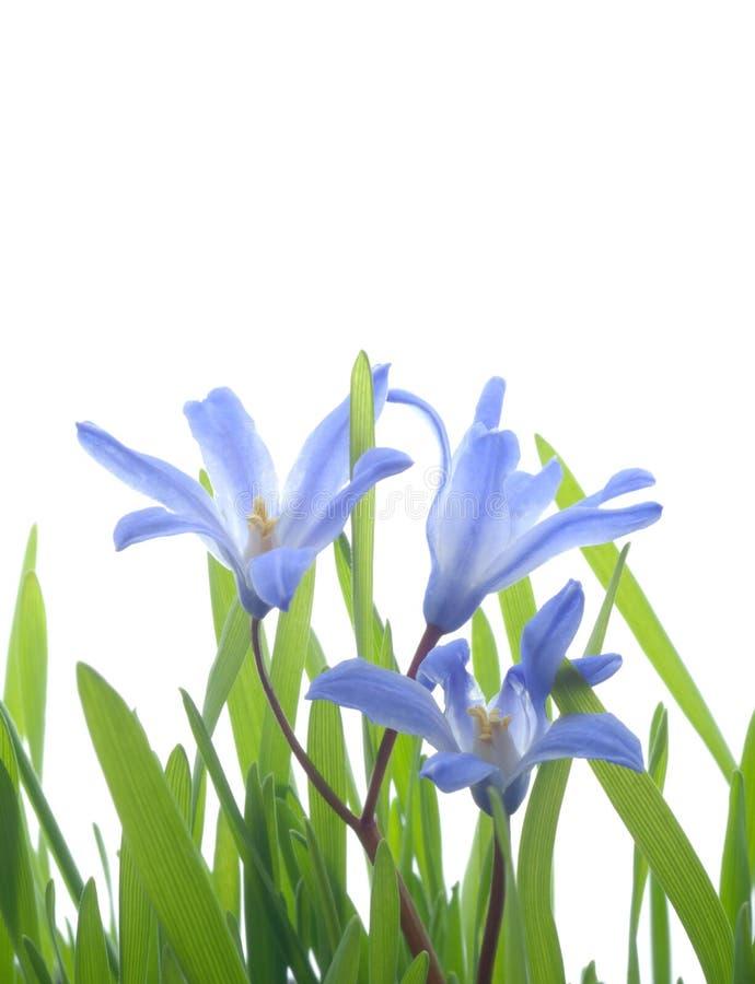 Scilla bleu photo libre de droits
