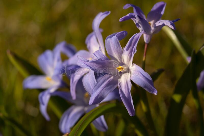 Scilla in evening light. Scilla in a garden in evening light stock images