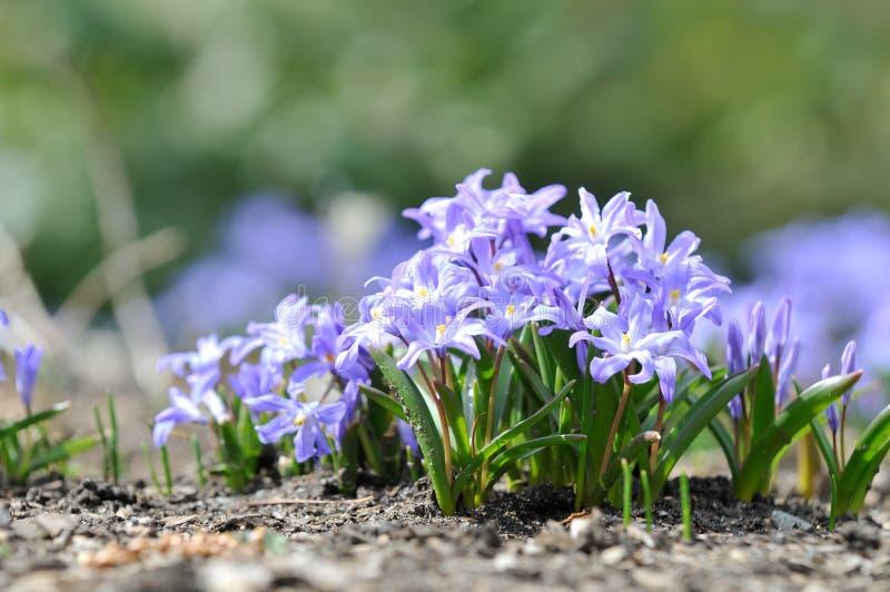 Scilla o flores de la esquila foto de archivo libre de regalías