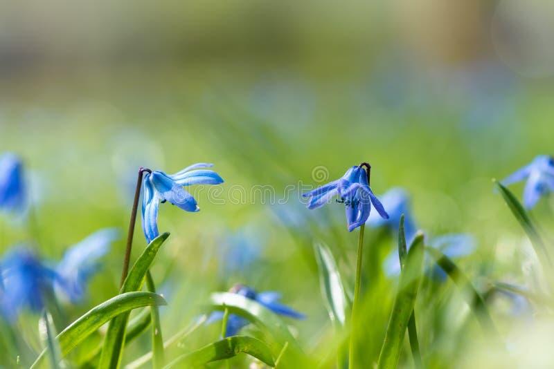 Scilla (Scilla siberica) in spring. Blooming scilla siberica in spring, close up, very fresh green and blue colors stock photos