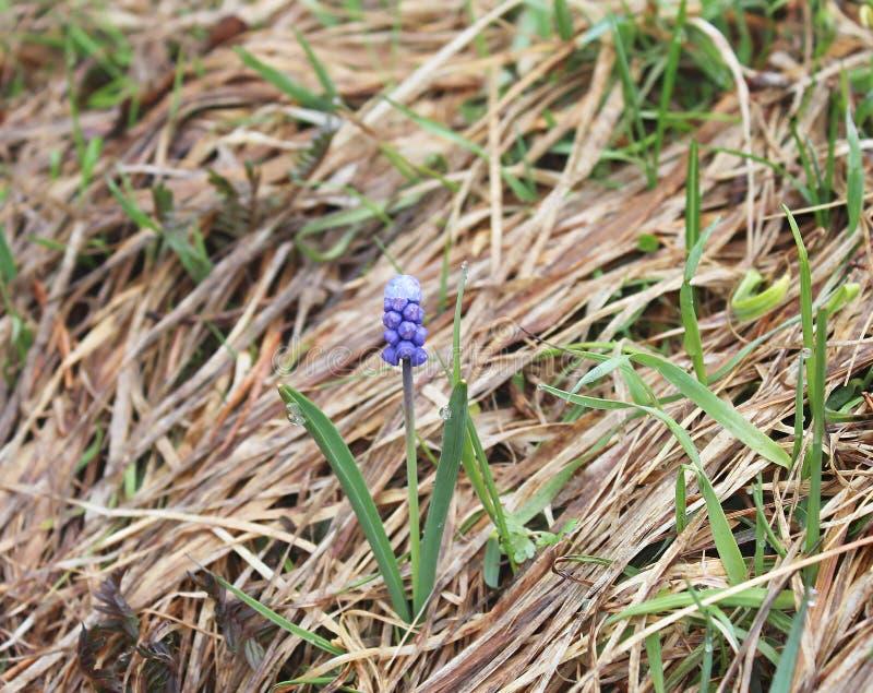 Scillabifolia, riep algemeen Scilla of Alpiene Scilla in bloesem met blauwe kleine bloemen met regendro stock fotografie