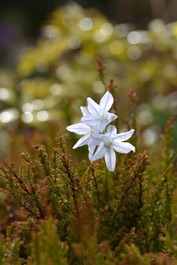 Scilloides di Puschkinia, fiori della molla fotografie stock libere da diritti