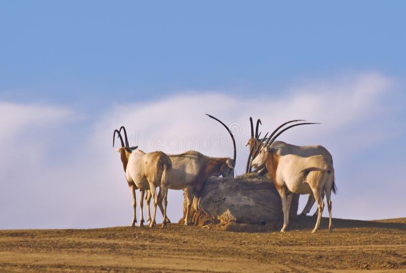 scimitar à cornes d'oryx image libre de droits