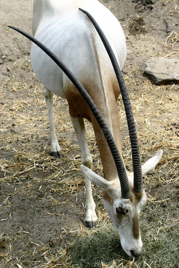 Scimitar-gehörnter Oryx lizenzfreie stockfotografie