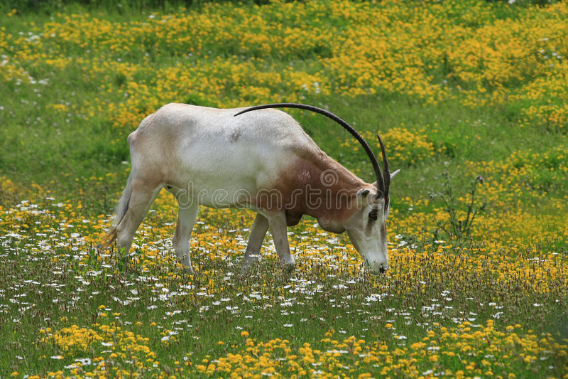 Scimitar-horned oryx stock photos
