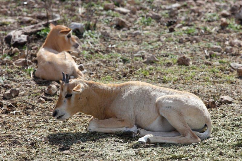 Download Scimitar Horned Oryx Calves Stock Image - Image: 29000995