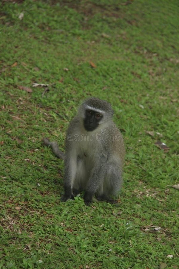 Scimmia 1 fotografia stock