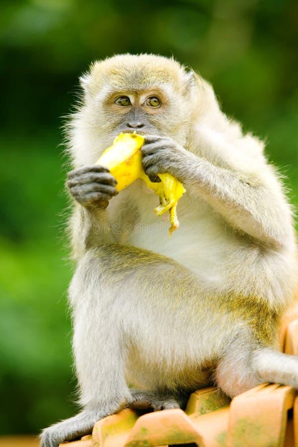 Scimmia affamata immagine stock