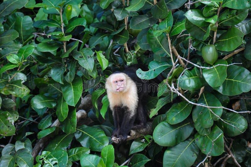 Scimmia affrontata bianca del cappuccino in Manuel Antonio National Park, Cos immagine stock