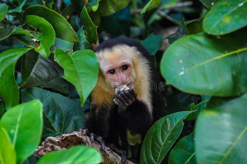 Scimmia affrontata bianca del Capuchin fotografia stock