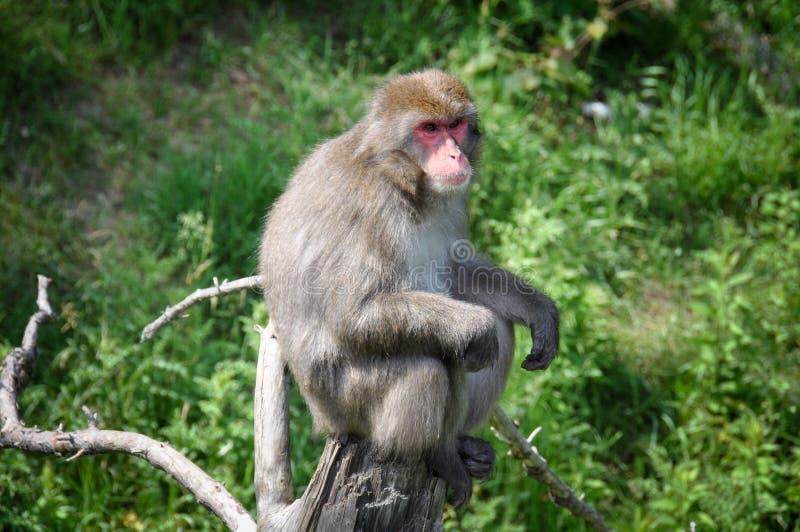 Scimmia alla st-Felicien dello zoo, Quebec, Canada fotografia stock libera da diritti