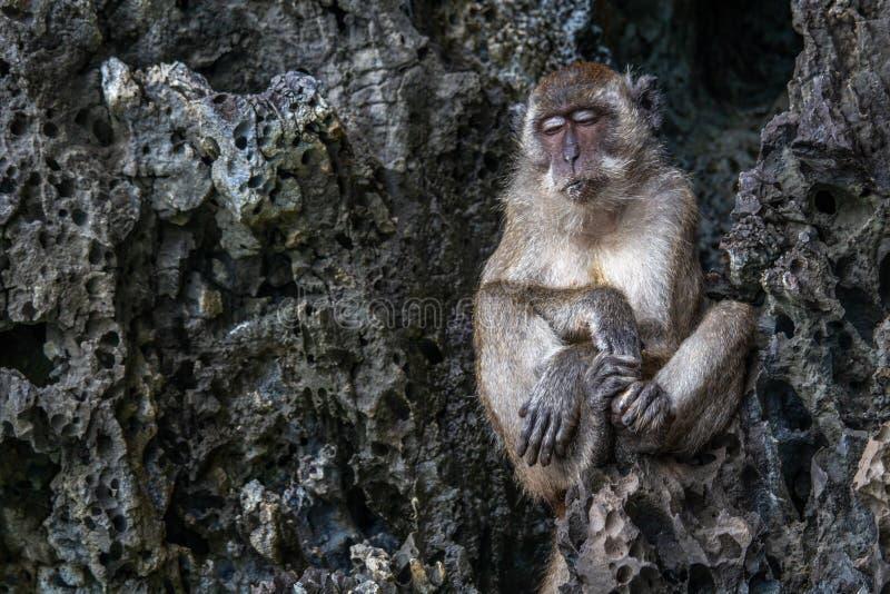 Scimmia annoiata sonnolenta su una roccia fotografie stock libere da diritti