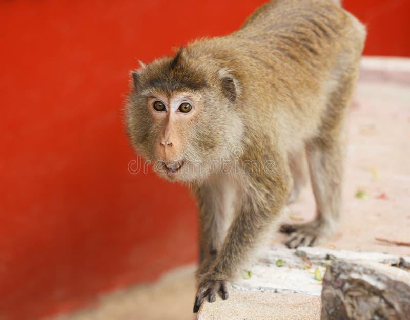 Scimmia arrabbiata fotografie stock libere da diritti