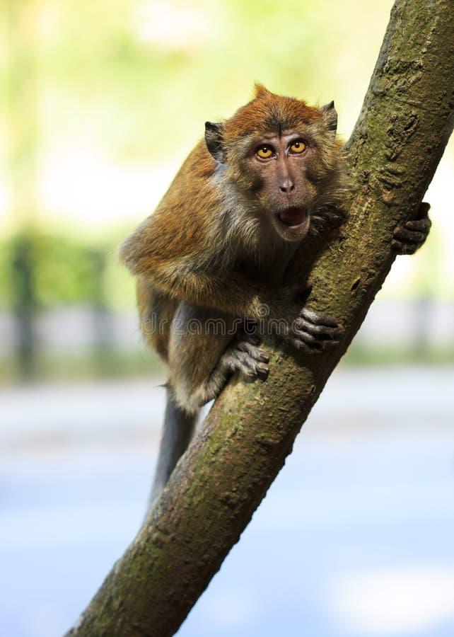 Scimmia arrabbiata immagine stock libera da diritti