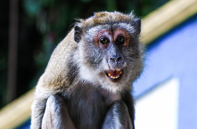 Scimmia arrabbiata fotografie stock