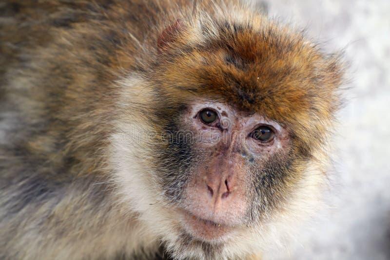 scimmia barbary fotografia stock libera da diritti