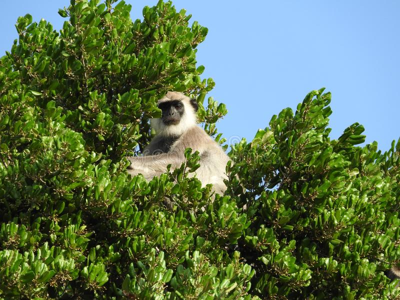 Scimmia bianca nell'habitat naturale dell'albero verde, parco dell'isola dello Sri Lanka fotografie stock