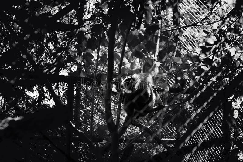 Scimmia in bianco e nero della siluetta sull'albero allo zoo di Ragunan, Jakarta, Indonesia fotografia stock