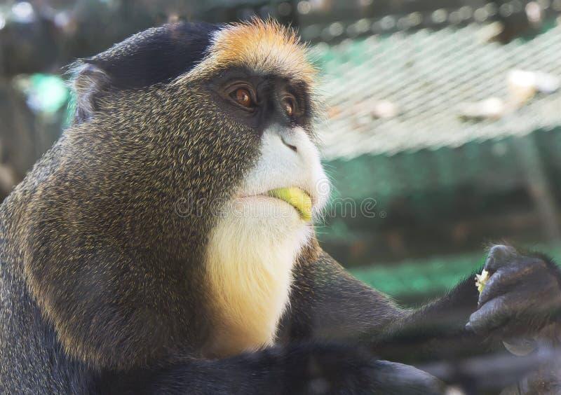 Scimmia Brazza di Nimal immagini stock