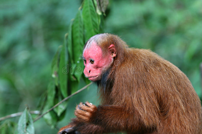 Scimmia calva di Uakari fotografie stock libere da diritti