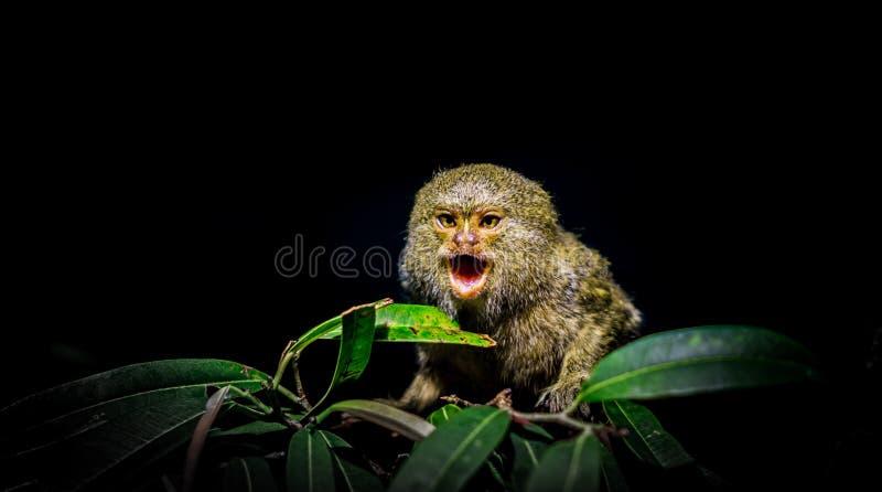 Scimmia che grida immagine stock libera da diritti