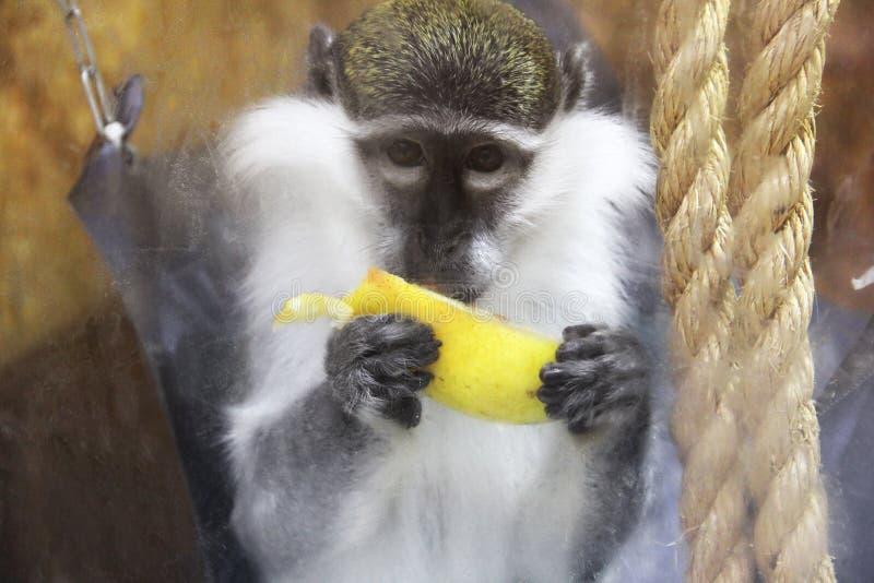 Scimmia che mangia banana immagini stock