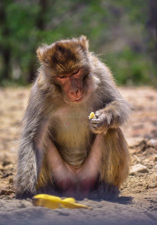 Scimmia che mangia banana fotografia stock libera da diritti