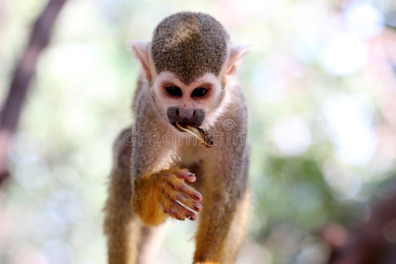 Scimmia che mangia frutta nel parco della scimmia fotografia stock