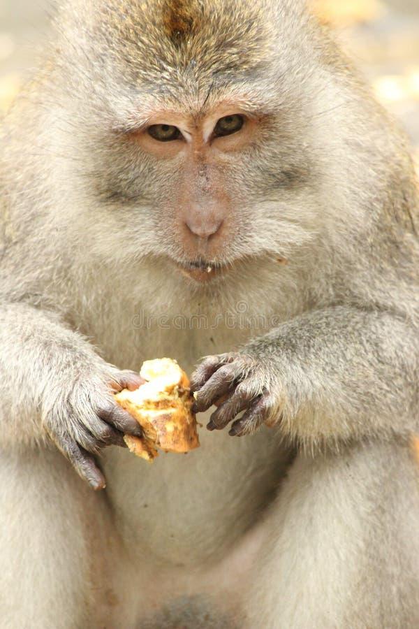 Scimmia che mangia un igname fotografia stock