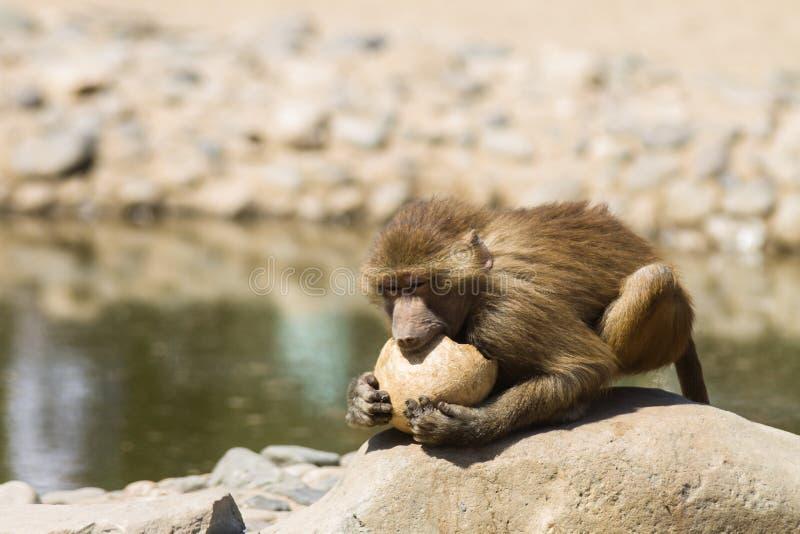Scimmia che morde una noce di cocco fotografie stock