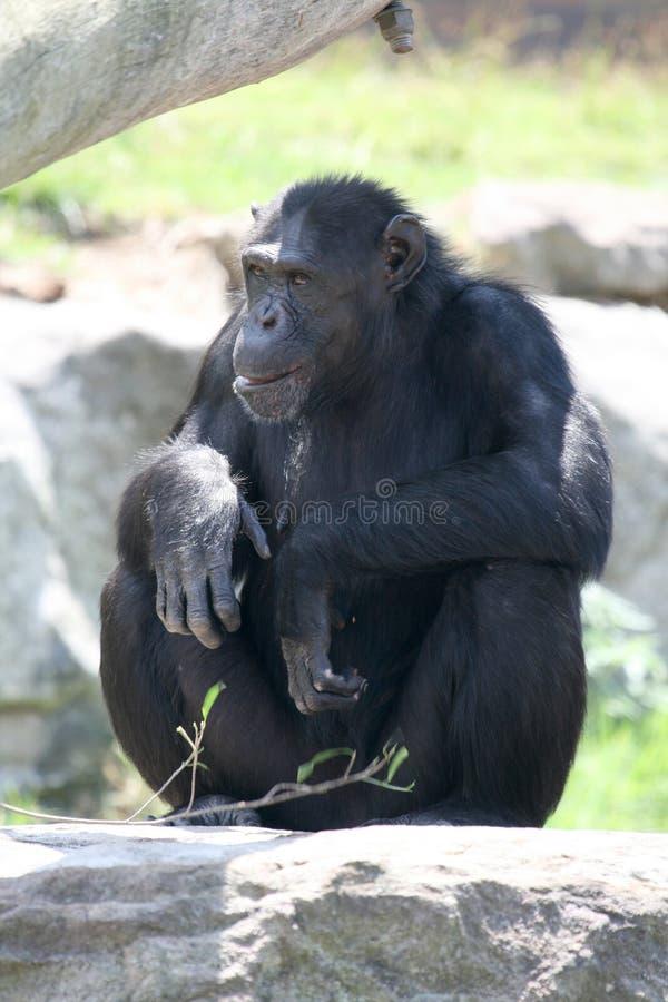 Scimmia che osserva via immagini stock libere da diritti