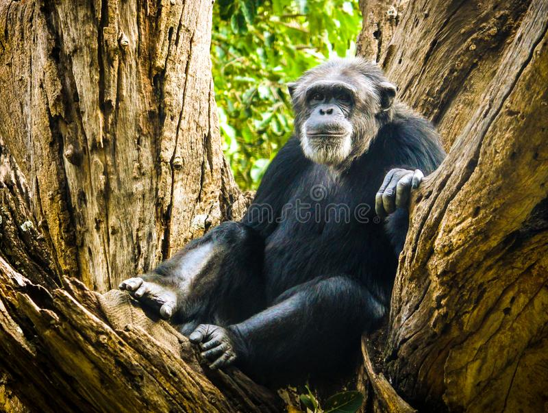 Scimmia che riposa su un albero fotografie stock