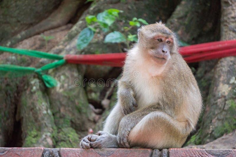 Scimmia che sembra annoiata mentre graffiando la sua pancia fotografie stock
