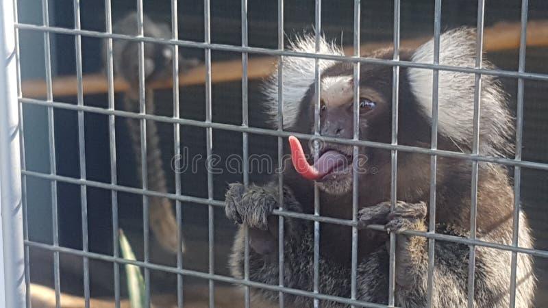 scimmia Cheeky immagini stock libere da diritti
