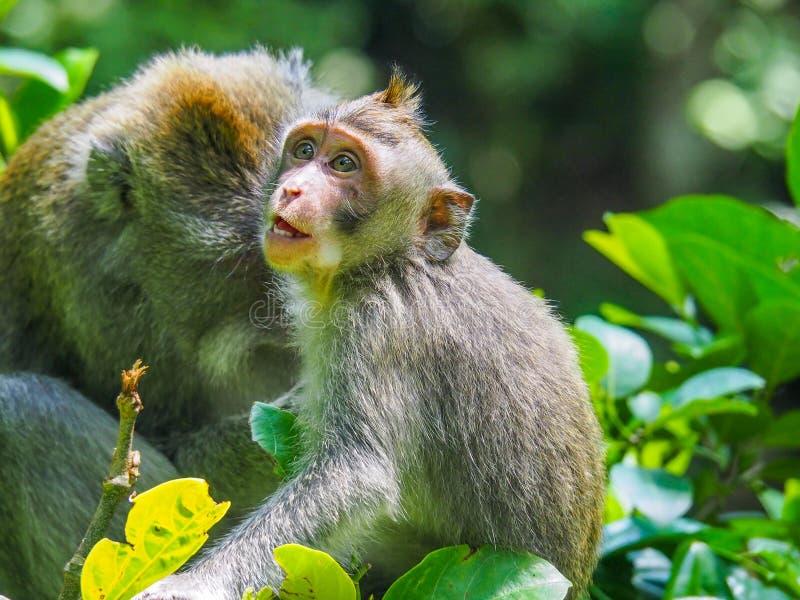 Scimmia a coda lunga di balinese fotografia stock libera da diritti